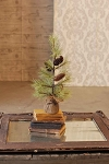 Longleaf Pine Tree with Burlap | 18