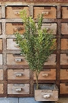 New England Boxwood Bush | 19